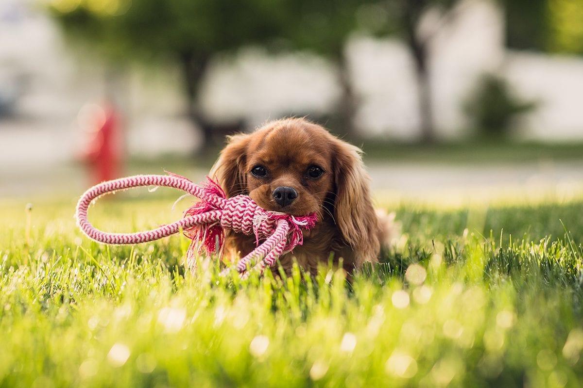3 tipos de brinquedos para cães mais felizes, para atividade, distração e conforto.
