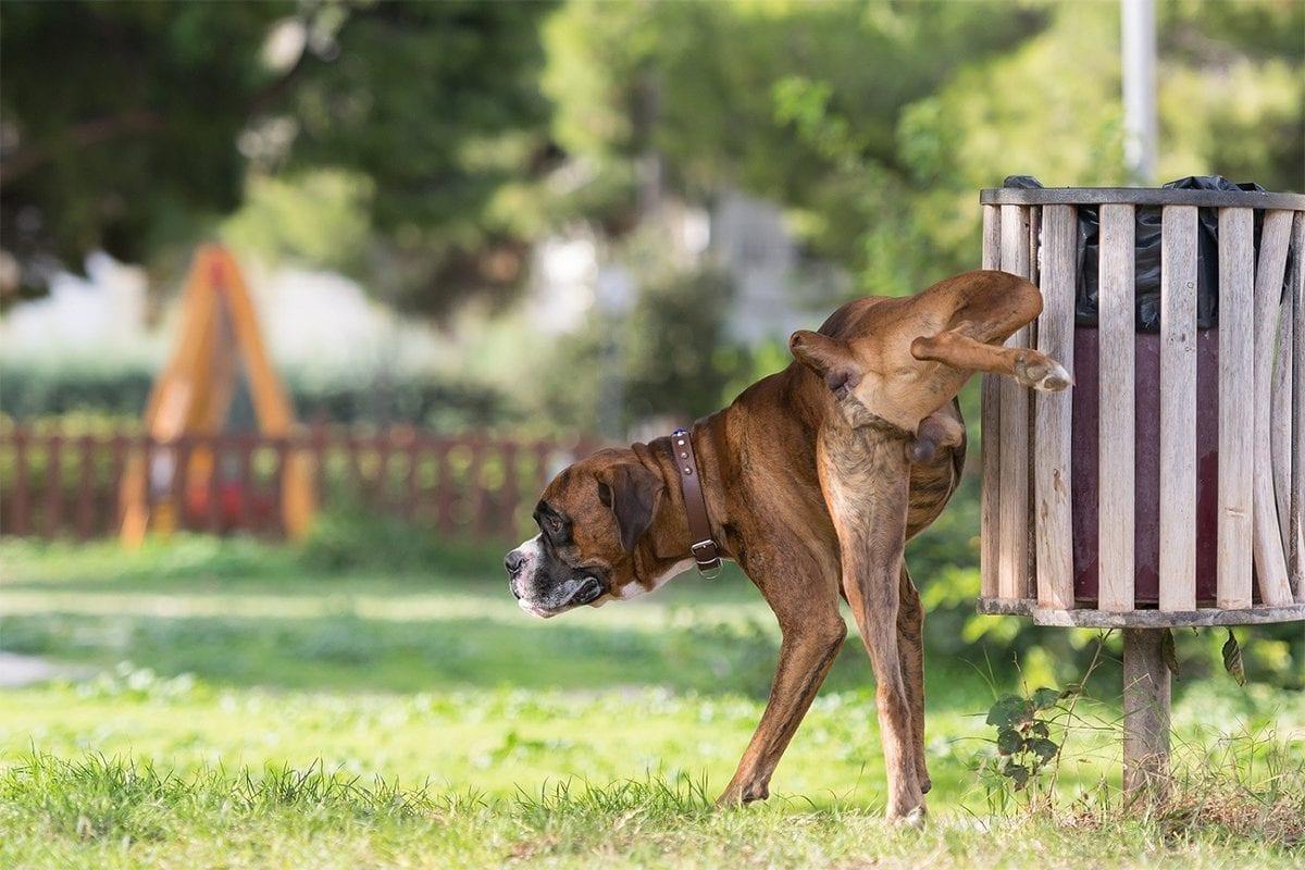 Como ensinar seu cão a fazer xixi no lugar certo