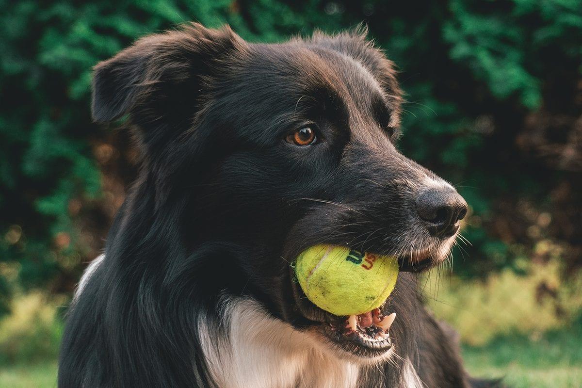 Cães precisam brincar