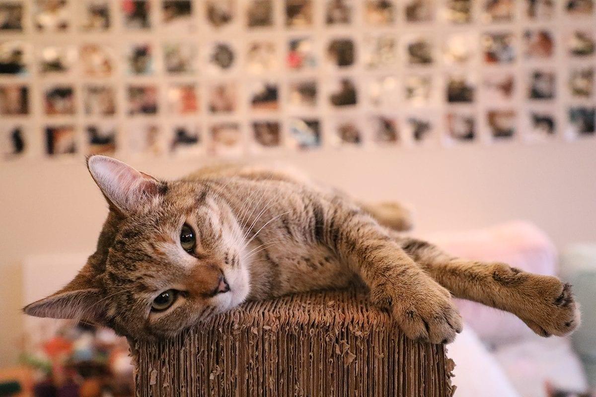 Gatificação de ambientes para gatos felizes