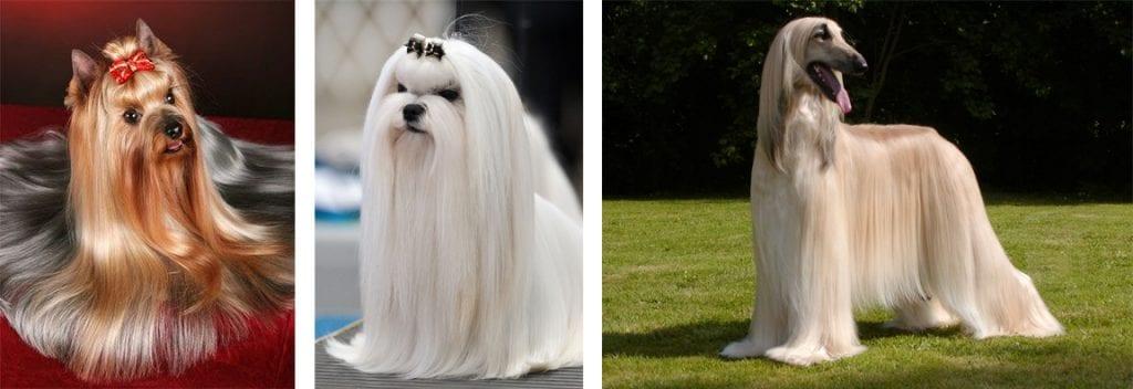 Cães com pelagem simples, que cresce continuamente