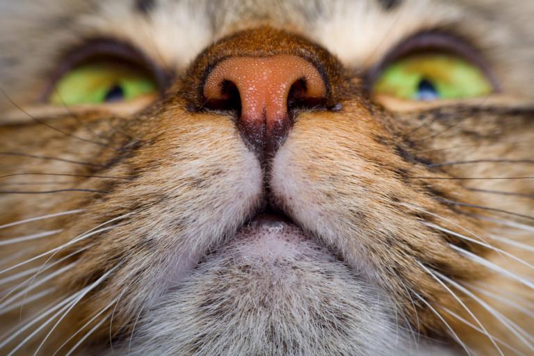 Fadiga do bigode em gatos